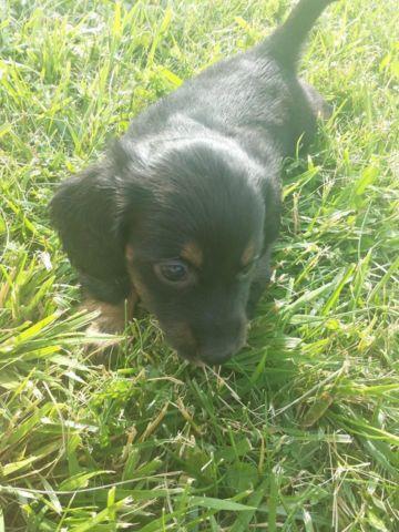 Pure Breed Miniature Long Hair Dachshund Puppies