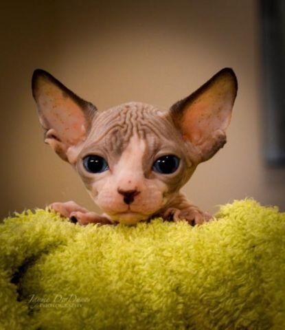 Sphynx and Bambino Kittens HAIRLESS cats kittens for Sale in