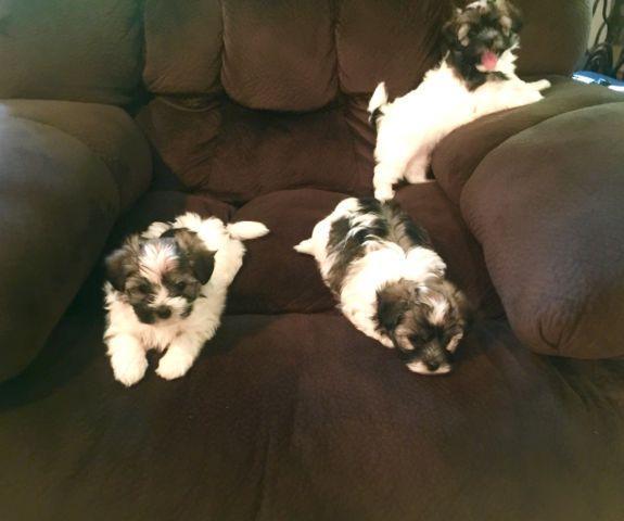 CKC Purebred Havanese puppies