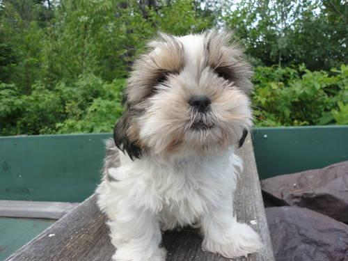 Beautiful Registered Shih Tzu Puppy. He is 11 weeks old