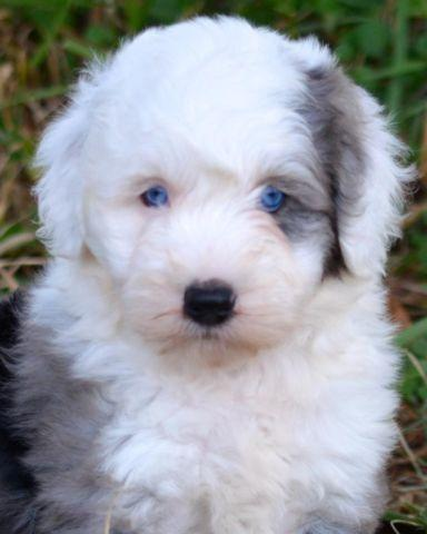 Miniature Sheepadoodle Puppies ~ Health Guarantee for Sale