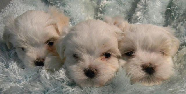 MALTESE - Adorable Super Healthy Female Puppies