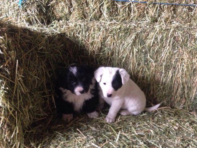 Border collie, blue heeler puppies
