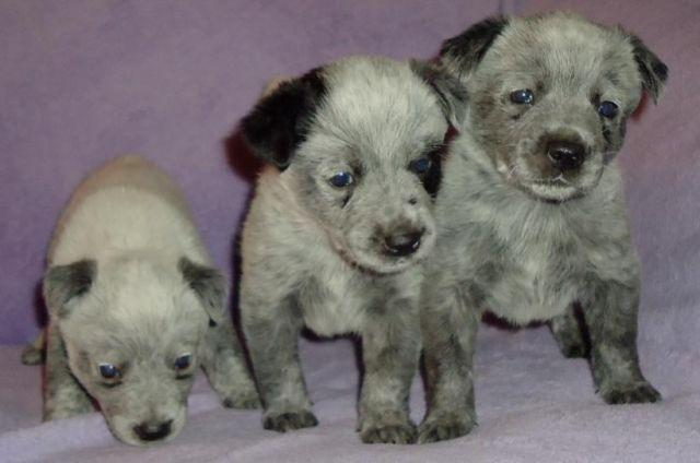 Australian Cattle Dog Puppies(Blue heelers)-only 2 females left!
