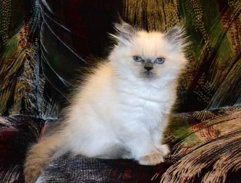 CFA registered Himalayan kitten