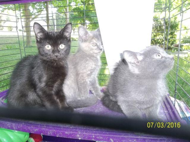Russian Blue X Himalayan Kittens