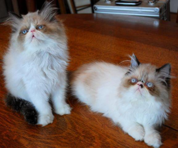 Doll & Flat-faced Himalayan Kittens Available for Sale in Cary