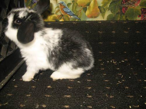 pet bunnies for sale lionhead & holland lops dwarf mini tiny