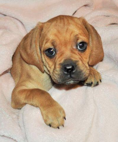 Family raised Puggle puppies go home at 8 weeks