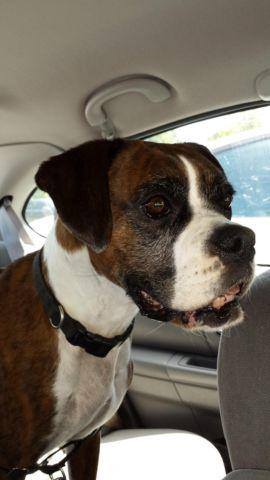 Adult Female Boxer looking for a GOOD home. Very sweet & well trained