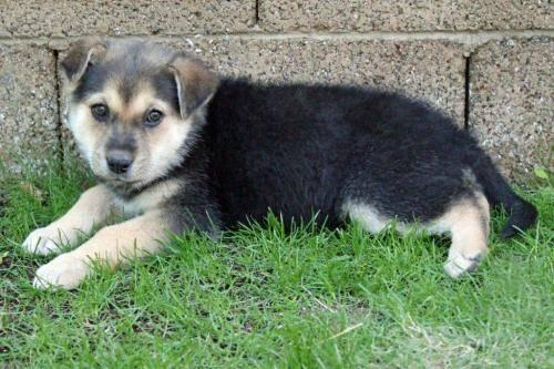 Australian Cattle Dog (Blue Heeler) - Hope - Medium - Baby