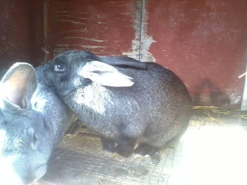 Meat Rabbit Trios -- Grow hormone and antibiotic-free meat