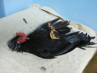 Serama Rooster (House Pet)