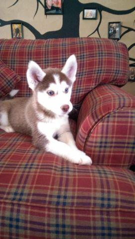 ABSOLUTLY BEAUTIFUL RED Siberian Husky~ 10 Weeks old