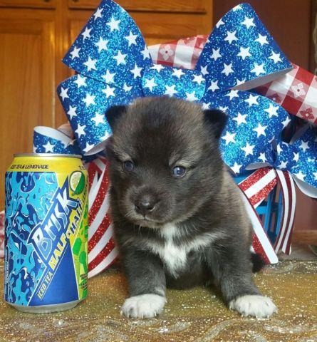 Pomsky Puppies 50% Siberian Husky and 50% Pomeranian for Sale in