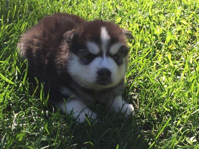 AKC Siberian husky puppies for Sale in Lafayette, Indiana