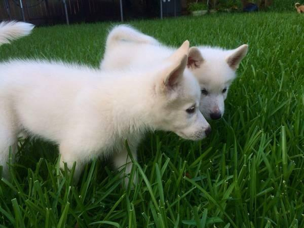 Looking for a Siberian Husky Puppy!!! Please Help.
