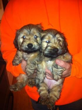 Lhasa Apso/ Yorkie Hybrid Female puppies