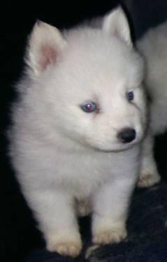 Mini Siberian Husky Hybrid Puppies