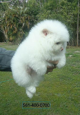 For sale very fluffy ice-white male pomeranian