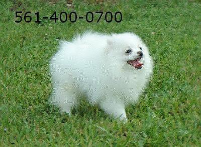For sale mini ice-white pomeranian female