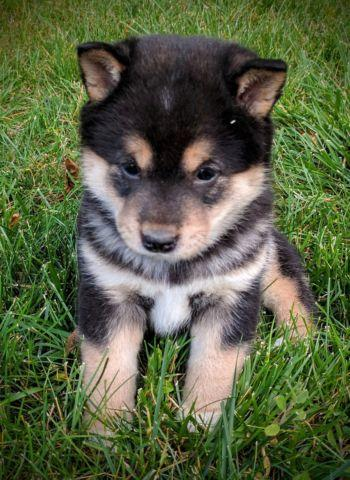 Akc Shiba Inu Puppies For Sale In Tualatin Oregon Classified