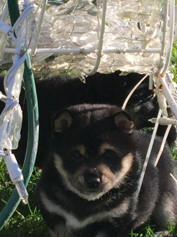 AKC registered Shiba Inu puppys