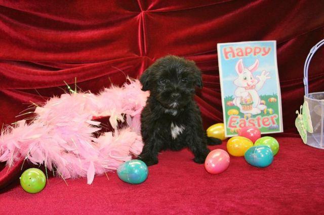 Beautiful Little Morkie Puppy. He is 10 weeks old