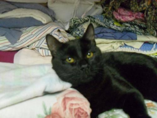 Domestic Short Hair - Black - Black Jack - Medium - Young - Male