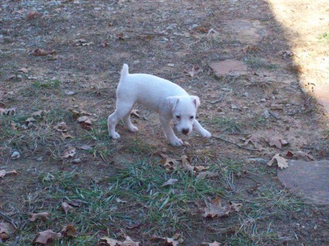 Snow White Female Jack Russell
