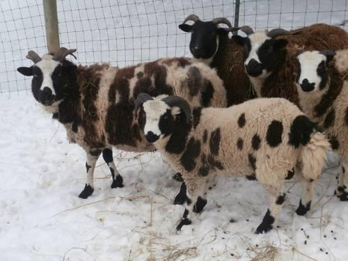 Starter Herd Jacob SHEEP