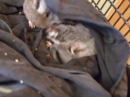 Just reduced!!!! Male Joey Sugar Glider!!!