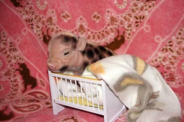 Miniature purebred Juliana piglets