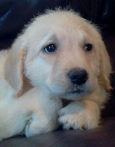 labradoodle pups READY June 24