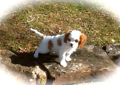 Stunning AKC CH Cavalier King Charles Spaniel Puppy