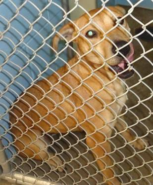 American Staffordshire Terrier - Kinsey***urgent*** - Medium
