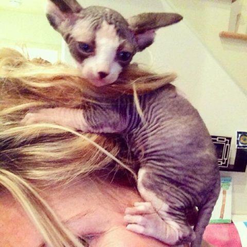 Sphynx kitten for Sale in Bennett Springs, Virginia
