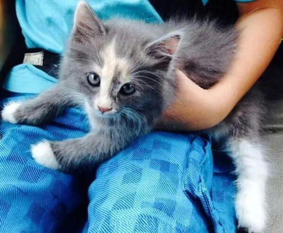 Maine Coon Kitten for Sale in Fremont, New Hampshire Classified