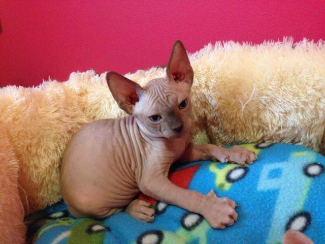 Sphynx Kitten for Sale in Greenfield, Ohio Classified