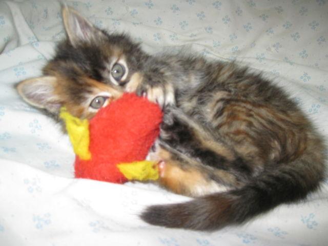 Ragdoll Calico kitten for Sale in Lebanon, Oregon Classified