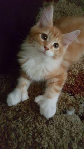 Maine Coon Kitten for Sale in Galena, Illinois Classified