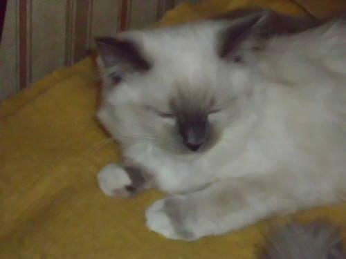 BLUE MITTED RAGDOLL KITTEN FOR SALE