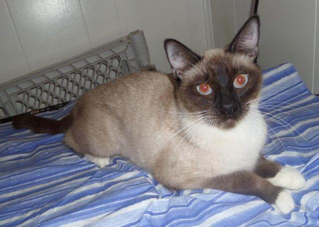 Siamese Kittens for Sale in Mayo, Florida Classified