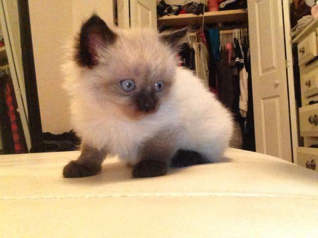 Himilayan Siamese kittens