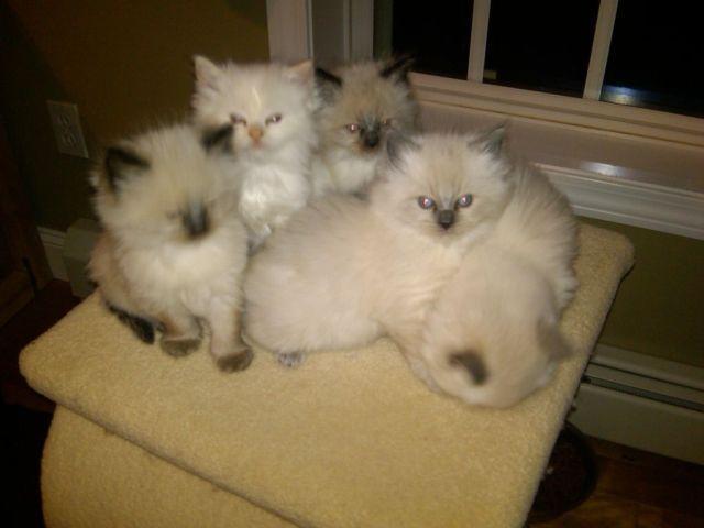 Ragdoll Kittens for Sale in Hampton Falls, New Hampshire