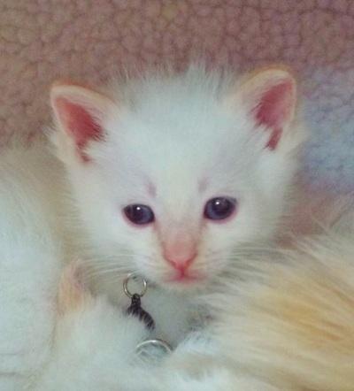 Siamese Kittens for Sale in Galena, Illinois Classified | HoodBiz org