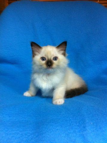TICA Ragdoll Kittens for Sale in Bowersville, Georgia Classified