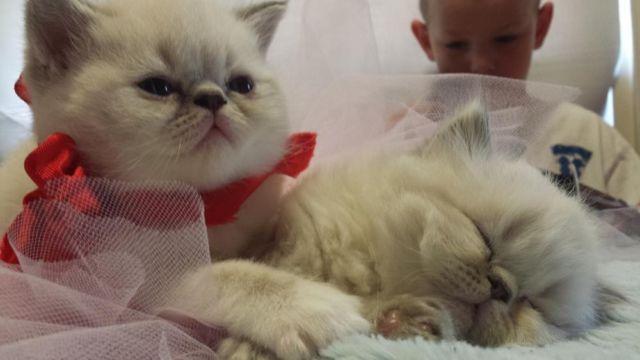Exotic Shorthair Kittens for Sale in Franklin, Massachusetts