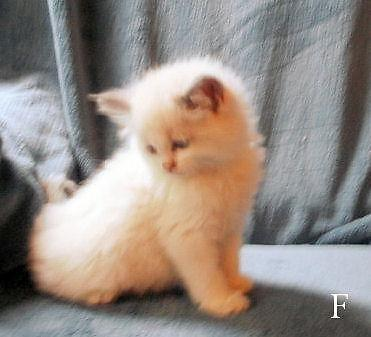 Darling Ragdoll kittens