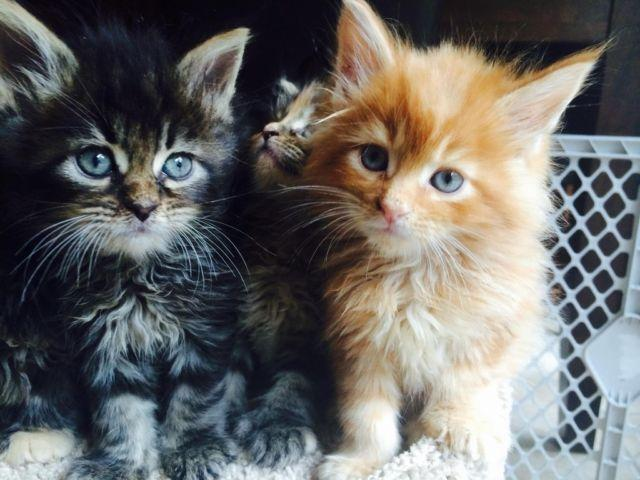 Maine Coon Kittens for Sale in Galena, Illinois Classified | HoodBiz org